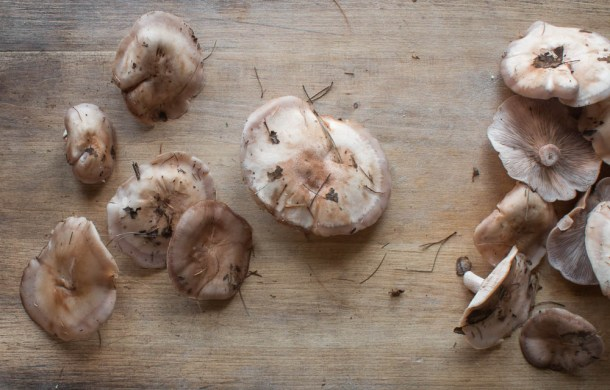Mature blewits, with light colored caps.