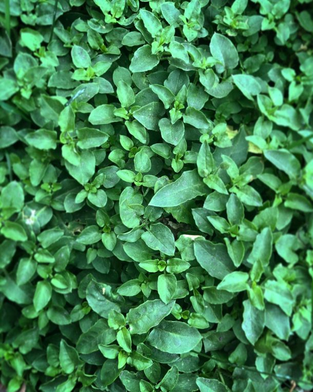 carpet of edible chickweed stellaria media
