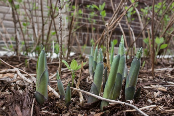 Cooking And Eating Hosta Shoots