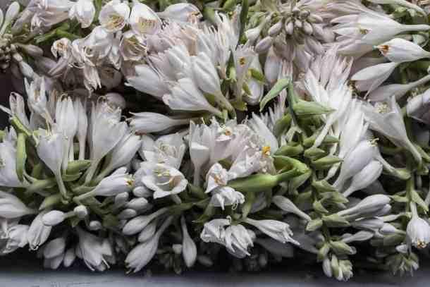 edible hosta shoots
