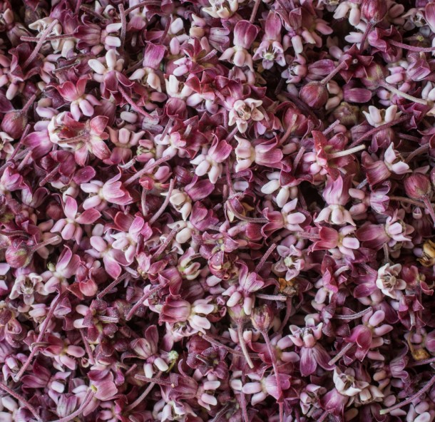 Milkweed Flowers and cordial (1 of 5)