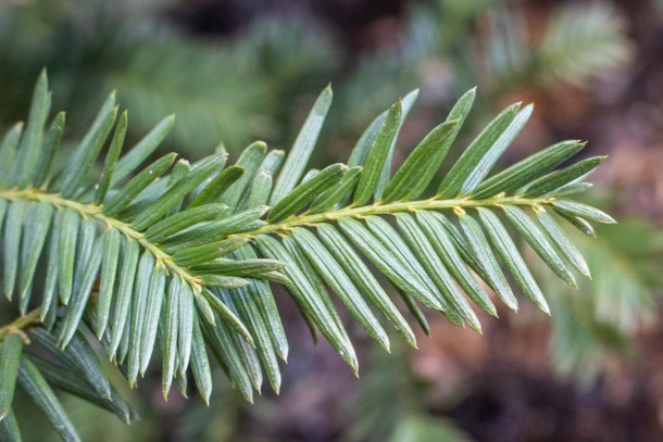 Poisonous yew tips, spruce tip look alike