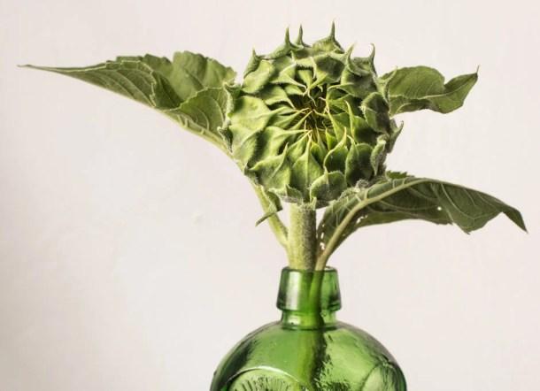 an edible sunflower bud