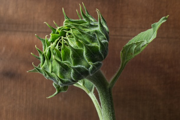 edible sunflower