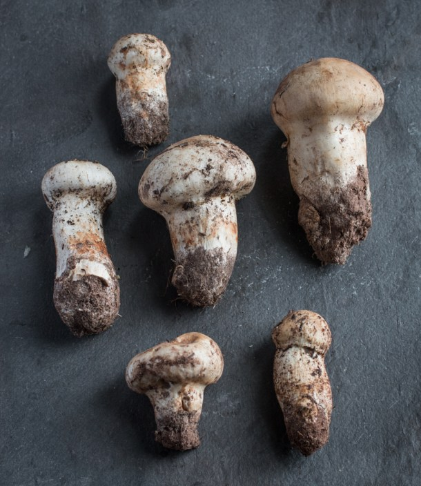 Minnesota matsutake mushrooms