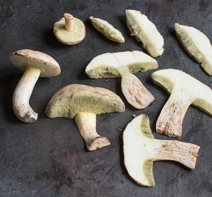 Boletus pallidus mushrooms harvested in Minnesota
