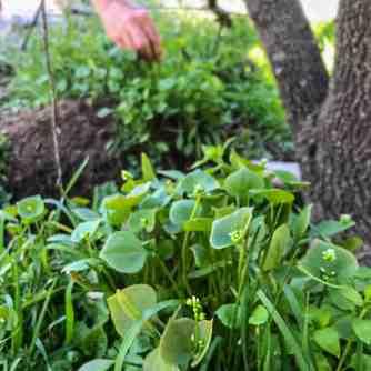Miners lettuce, or Claytonia perfoliata