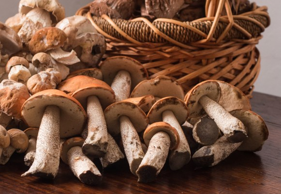 leccinum and porcini mushrooms 2019