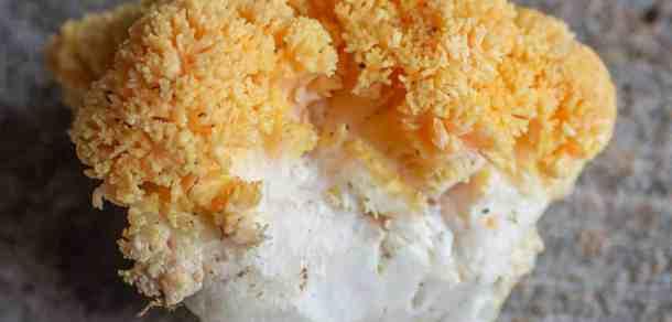 Yellow edible Ramaria mushrooms currently unidentified