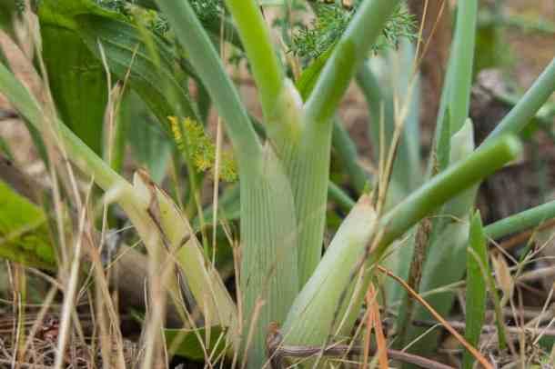 Wild Fennel or Foeniculu vulgare