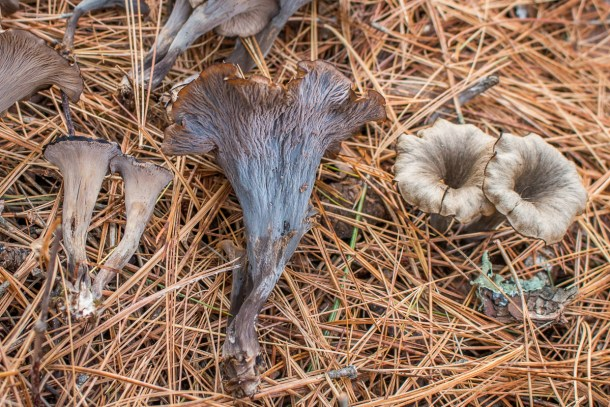 Craterellus caeruleofuscus or the cerulean black trumpet mushroom