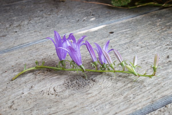 Edible Campanula rapunculoides or creeping bellflower