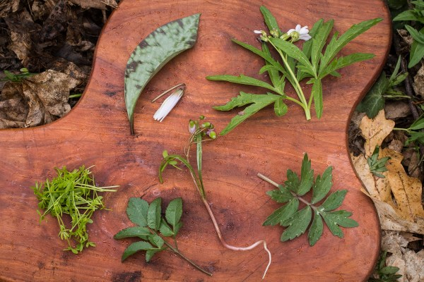 Ingredients for spring ephemeral salad: trout lily, toothwort, waterleaf, golden alexanders, floerkia sprouts,
