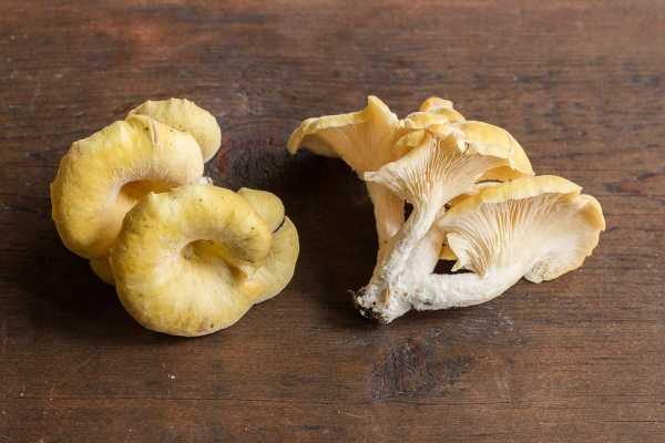 Wild golden oysters or Pleurotus citrinopileatus