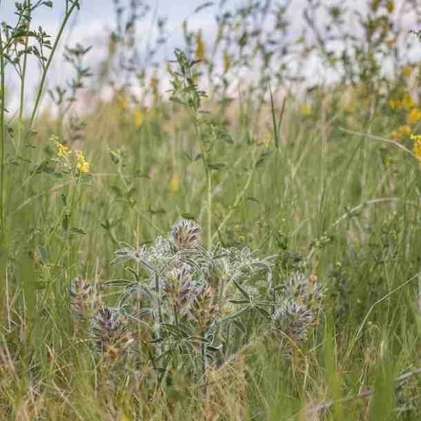 Timpsila, prairie turnip, Pediomelum esculentum, Psoralea esculenta
