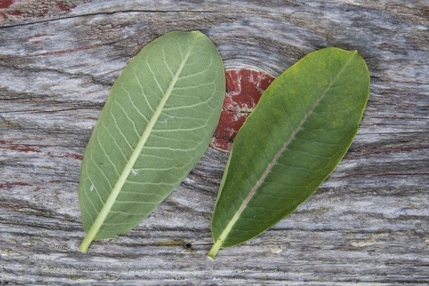 Edible milkweed leaves