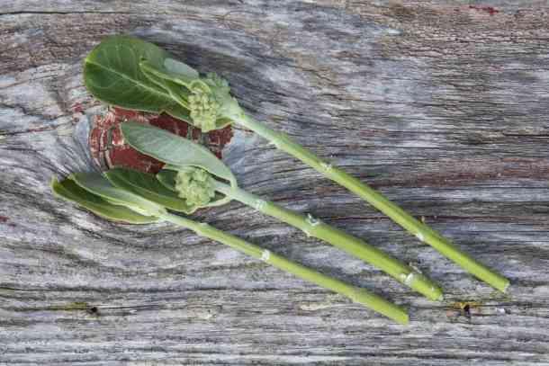 Edible milkweed shoots