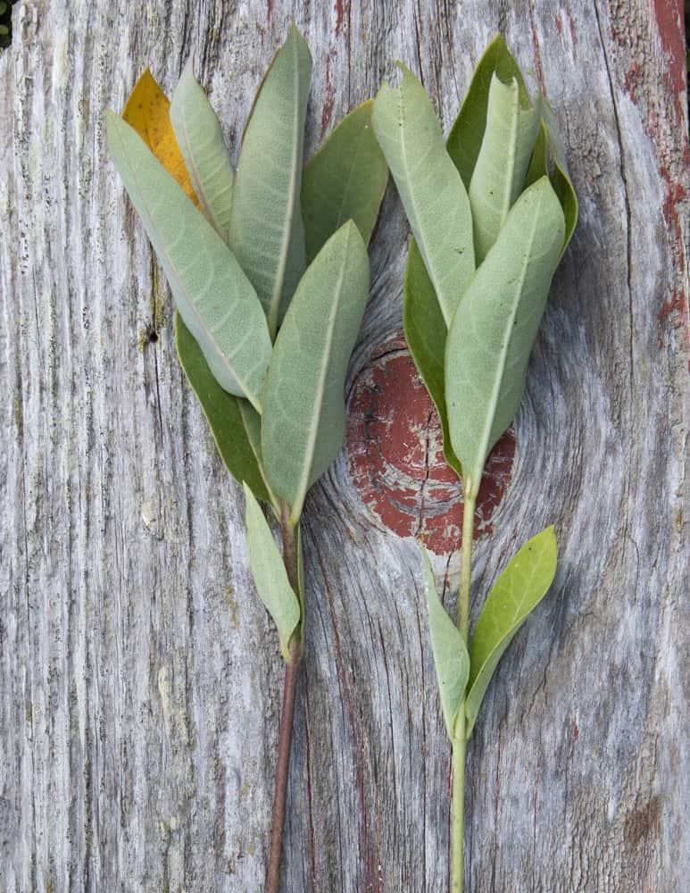 Poisonous dogbane shoots, a milkweed look alike