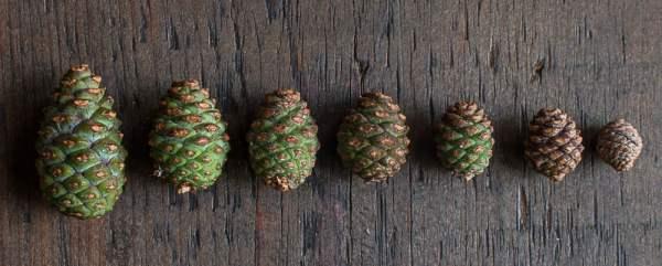 Adolescent Pine Cones Green Pine Cones (3)