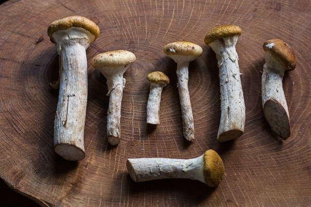Edible honey mushrooms honey fungus, or Armillaria mellea