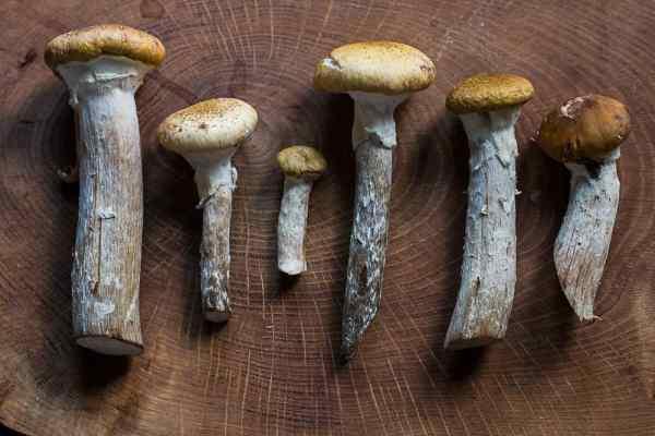 Edible honey mushrooms or Armillaria mellea