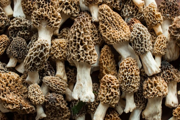 Morel mushrooms from Minnesota