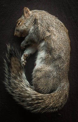 Grey squirrel for cooking