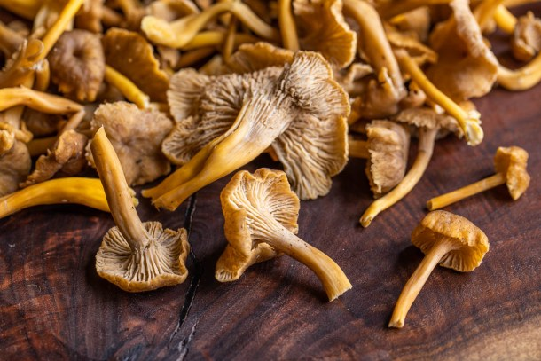 Yellowfoot chanterelles or Craterellus tubaeformis