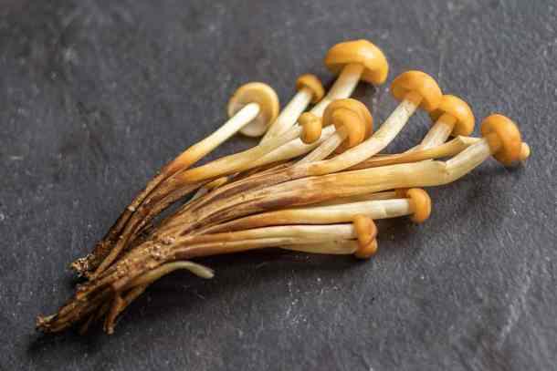 Wild enoki mushroom clones or Flammulina velutipes