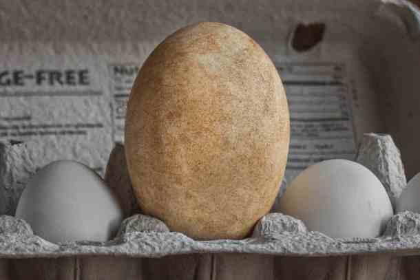 wild goose egg next to chicken egg comparison