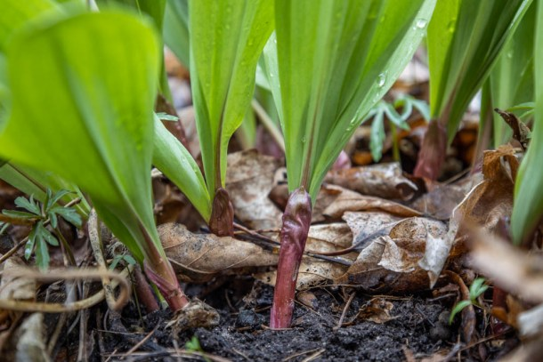 Allium triccocum or ramps / wild leeks