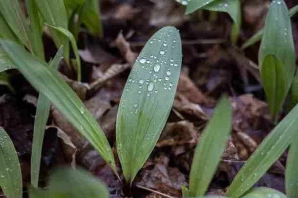 Ramp leaves (Allium triccocum)