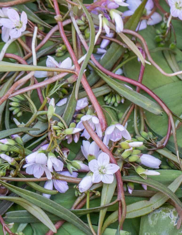 Edible spring beauty or Claytonia virginica