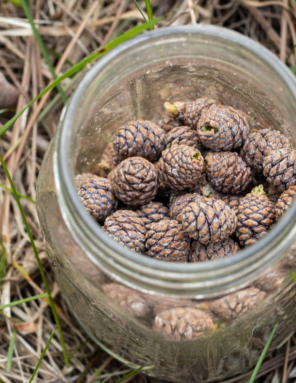 Small young red pine cones in a mason jar