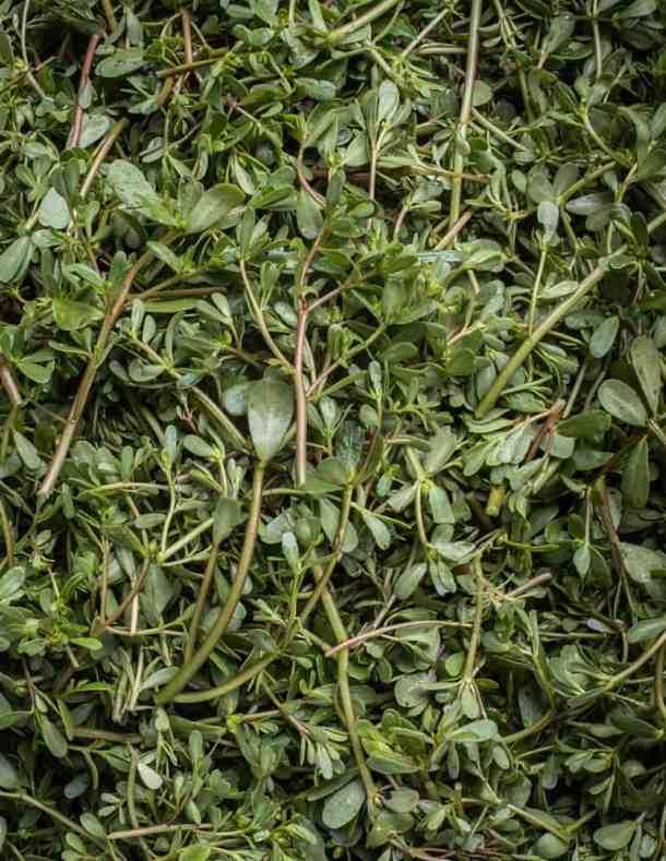 Edible wild purslane or verdolagas