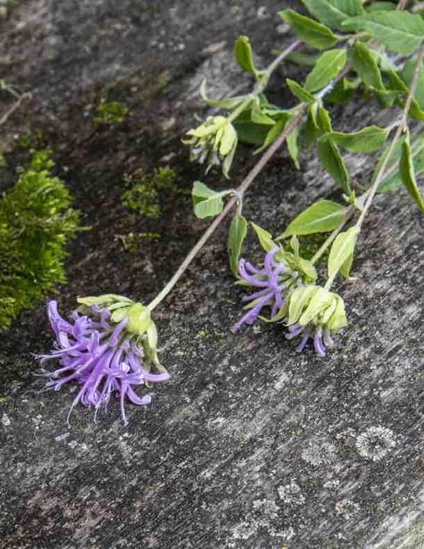 Wild oregano or bergamot / Monarda fistulosa flowers