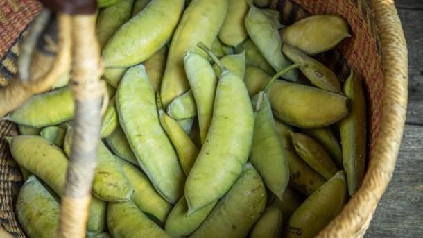 Unripe or green edible Kentucky coffee tree pods