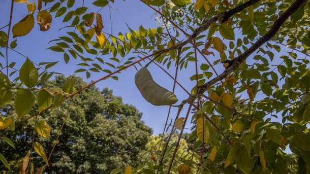 Unripe Kentucky coffee bean pods on the tree