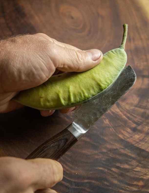 Cutting open a green Kentucky coffee pod to get the edible seeds / beans