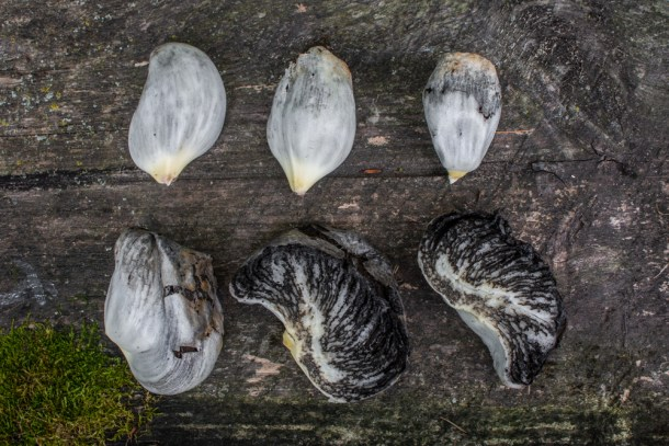 Huitlacoche or corn smut mushrooms at a good stage for eating