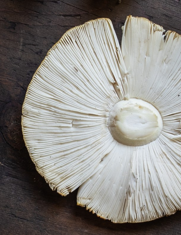 The gills of Amanita muscaria guessowii