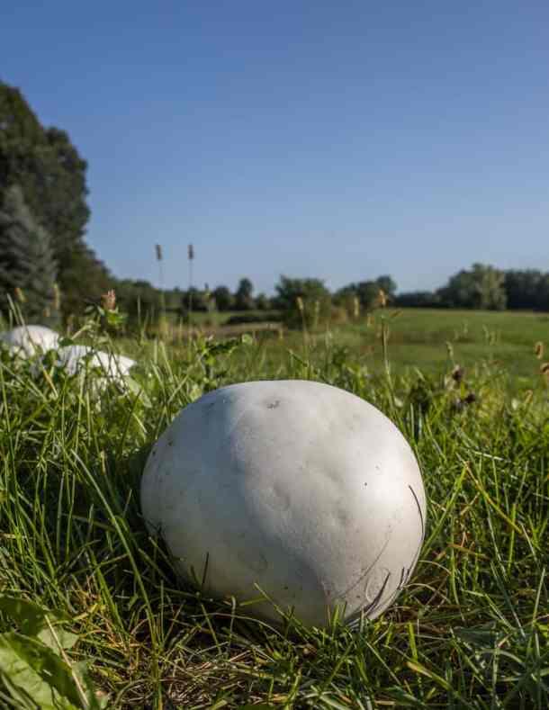 Giant edible puffball mushrooms in a field