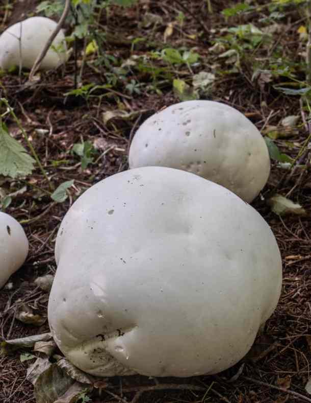 Giant edible puffball mushrooms