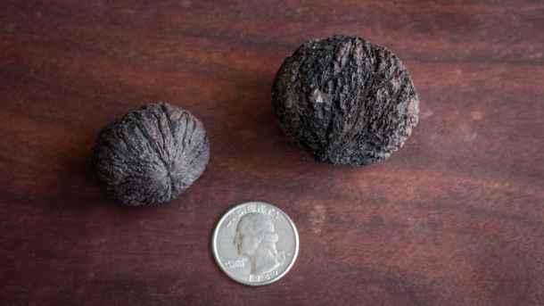 Size variation in black walnuts