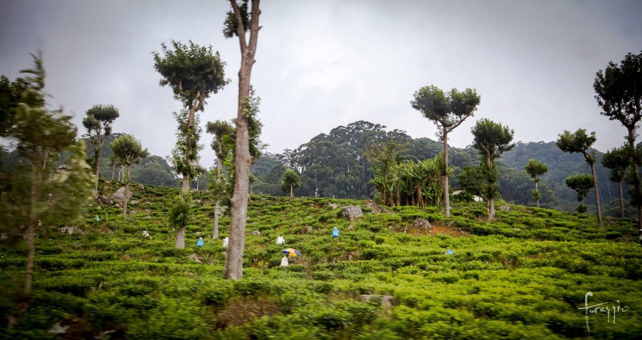Tea production, Sri Lanka