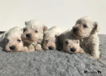 "Cachorros Schnauzer miniatura ""Blancos"""