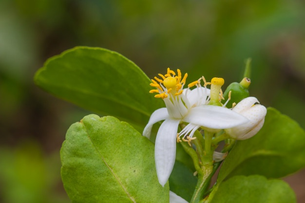 uleiuri esențiale pentru somn liniștit - bergamota