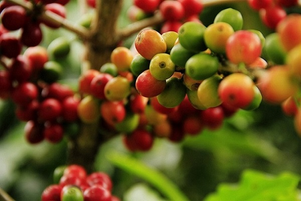 Intersting facts bout coffee growing - coffee beans on a coffee tree