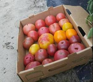 Fords-Produce-Tomatoes-Local