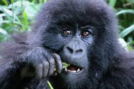 Thieves Not Gorilla Stole N6.90m From Kano Zoo – MD